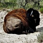 19.  Buffalo, Yellowstone National Park, Wyoming, 2009.
