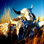 42. Buffalo Skulls, Little Bighorn Valley, Montana, 1999.