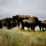 118. Yellowstone National Park, Wyoming, 2006.