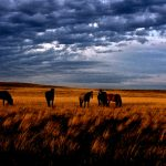 46. Wild Horse Herd, Wyoming, 1984.