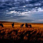 46. Wild Horse Herd, Wyoming, 1984.