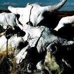 76. Buffalo Skulls, Little Bighorn, Montana, 1999.