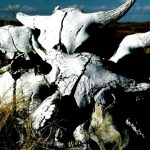 38. Buffalo Skulls, Custer Battlefield Trading Post, Crow Agency, Montana, 2006.